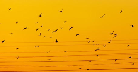 Photo Stands Melon A flock of birds in wires at dawn of the sun