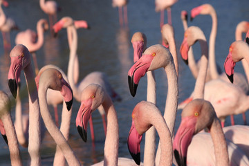 Foto op Canvas Flamingo Group of flamingos is standing
