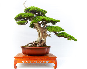 Chinese Pine Bonsai tree isolated on white background.