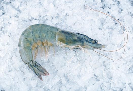 Fresh tiger shrimp on an ice cube background