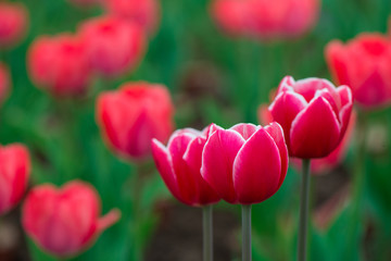 In de dag Tulp Beautiful colorful red tulip background photo.