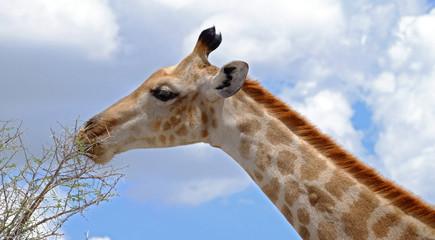 Giraffe head and neck,Etosha National Park, Namibia