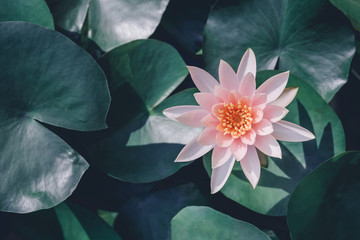 Garden Poster Lotus flower closeup beautiful lotus flower and green leaf in pond, purity nature background, red lotus water lily blooming on water surface and dark blue leaves toned
