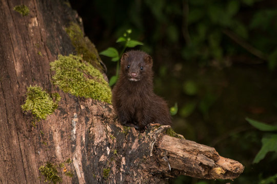 Mink on a deadfall