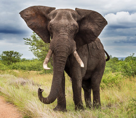 Foto auf AluDibond Elefant Elephants in the Kruger National Park South Africa
