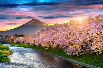 Wall Mural - Cherry blossoms and Fuji mountain in spring at sunrise, Shizuoka in Japan.
