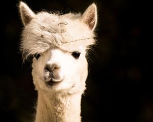 Poster Lama cute alpaca face closeup