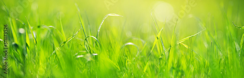 Wall mural Fresh green grass background in sunny summer day
