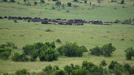 Spoed Foto op Canvas Olijf landscape in the African savana in Masai Mara in Kenya