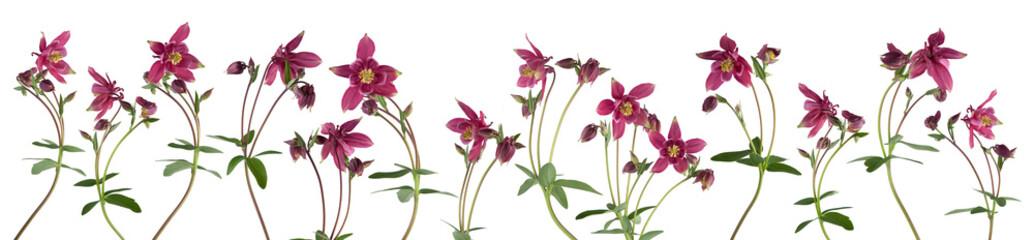 Columbine flower isolated on white background Fototapete