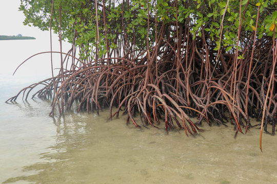 Close up of long mangrove tree roots. Mangrove at low tide. Mangrove and roots on sand, Lombok, Indonesia. Red mangrove, Rhizophora mangle. Best background for your project.