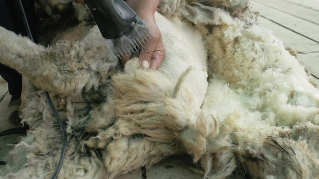 Men shearer shearing sheep at agricultural show in competition. The process by which wool fleece of a sheep is cut off. Electric professional sheep manual hair clipper sheep cutting shearing machine.