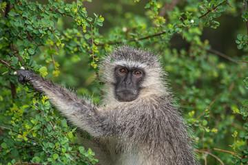 Obraz Kotawiec sawannowy (Vervet monkey) - fototapety do salonu