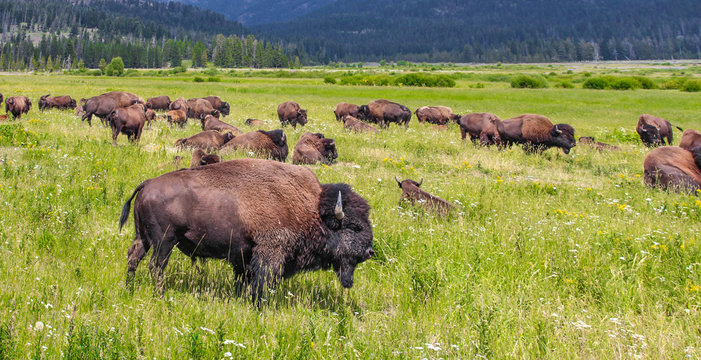Wild bison in Yellowstone National Park, USA