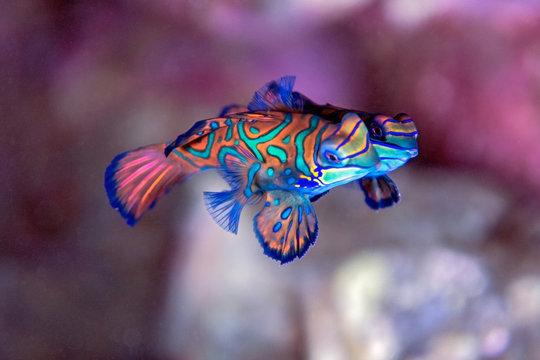 Mandarin fish - Indonesia banda underwater