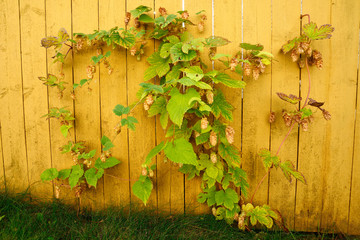 hop branches on a bright yellow fence in the fall