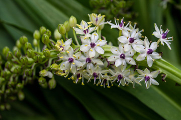 View of flowering tropical plant with white-lilac small flowers