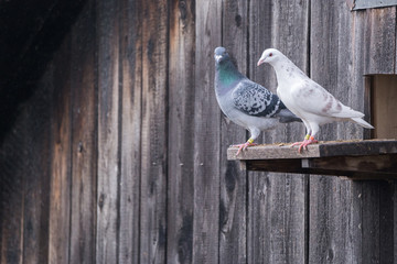 White and gray pigeons Columba livia domestica standing on the edge of an entrance to a barn Fotomurales
