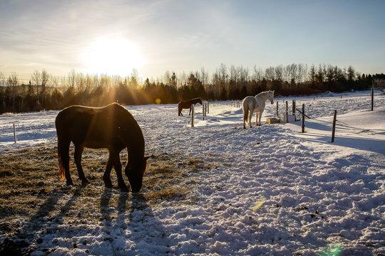 Chevaux canadien dans une prairie enneigée au Québec en train de manger du foin