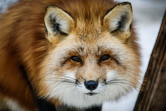 Gros plan sur la tête d'un renard canadien à la fourrure rousse très fournie