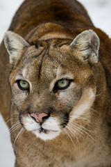 Canvas Prints Puma Gros plan sur la tête d'un cougar, puma d'Amérique du Nord, espèce très menacée