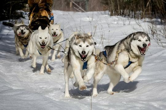 Chiens de traineau en plein effort au galop sur la neige en forêt au Canada