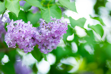 Foto op Aluminium Lilac Spring branch of blossoming lilac. Lilac flowers bunch over blurred background. Purple lilac flower with blurred green leaves. Copy space