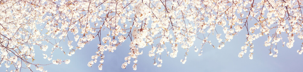 Delicate Spring Nature background. Blurred soft cherry blossom background. Blossoming time lapse of Cherry trees. Beautiful Panoramic wallpaper or Web banner With Copy Space