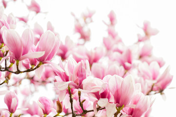 Poster de jardin Magnolia Magnolia flowers. Magnolia flowers background close up. Tender bloom. Floral backdrop. Botanical garden concept. Aroma and fragrance. Spring season. Botany and gardening. Branch of magnolia