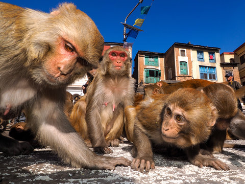 rhesus macaque (Macaca mulatta), also called the Nazuri monkey. Swayambunath, Kathmandu, Nepal