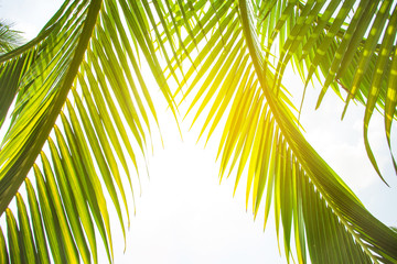 Fototapeten Gelb tropical palm leaf background, coconut palm trees perspective view