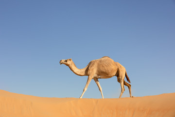A sand colored dromedary camel walking on a dune in the Empty Quarters desert. Abu Dhabi, United Arab Emirates.