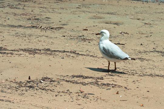 An Australian Seagull on the beach