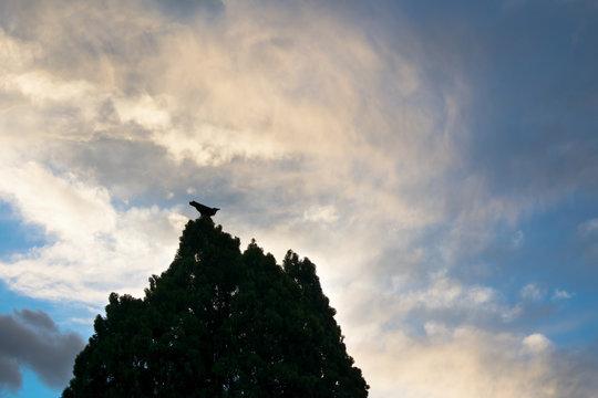 An Australian Raven perches on a tree top