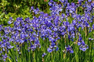 Deurstickers Iris Blue flowers Iris versicolor beautifully blooming in the garden