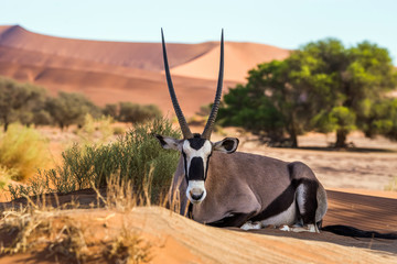 Gemsbok, or South African oryx (Oryx gazella) lying on the sand in Sossusvlei dunes, Namibia.