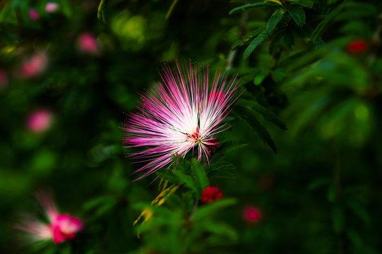 Persian silk tree, or pink silk tree (Albizia julibrissin) flower