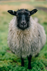 Fond de hotte en verre imprimé Sheep Gray Icelandic sheep stands in a green meadow and looks at the camera, closeup portrait