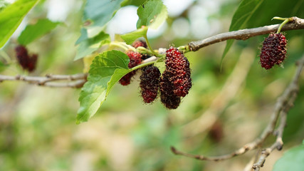 Close up of mulberry fruit in an orchard.