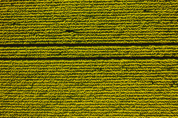 Wall Mural - Bright yellow sunflower field in sunlight. Textural image of drone photography.
