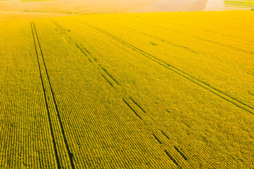 Wall Mural - Idyllic yellow sunflower field in sunlight. Textural image of drone photography.