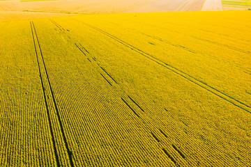 壁紙(ウォールミューラル) - Idyllic yellow sunflower field in sunlight. Textural image of drone photography.
