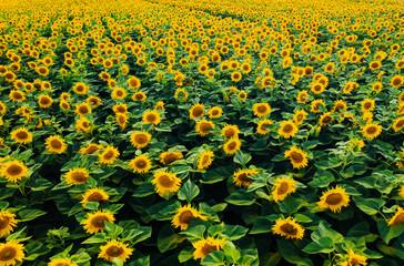 壁紙(ウォールミューラル) - Top view on bright yellow sunflower field in sunlight. Location place of Ukraine, Europe.