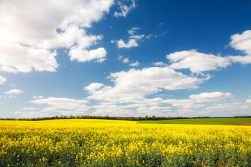 Wall Mural - Bright yellow canola field and blue sky on sunny day.