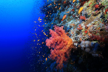 Wall Mural - Beautiful soft corals on Daedalus reef