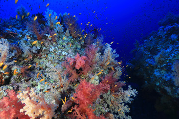 Fototapete - Beautiful soft corals on Elphinstone reef