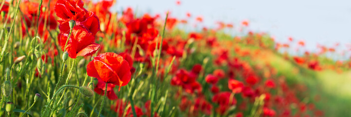 Web banner 3:1. Red poppy flowers field on hill. Spring background