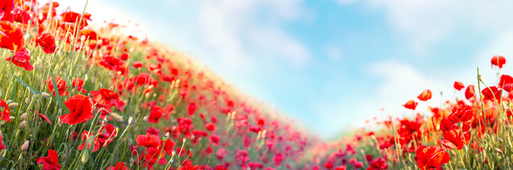 Door stickers Meadow Web banner 3:1. Red poppy flowers field on hills. Spring background