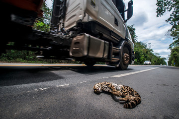 Wildlife run over on the road, in Linhares, Espirito Santo. Southeast of Brazil. Atlantic Forest Biome. Picture made in 2014.