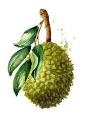 Durian tree,  fruit with green leaves. Watercolor hand drawn illustration isolated on white background